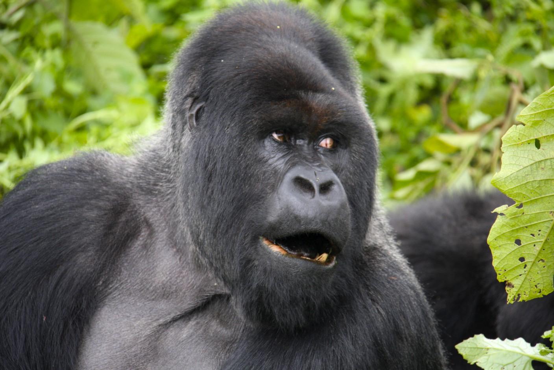 Марта короткие, открытки с гориллой
